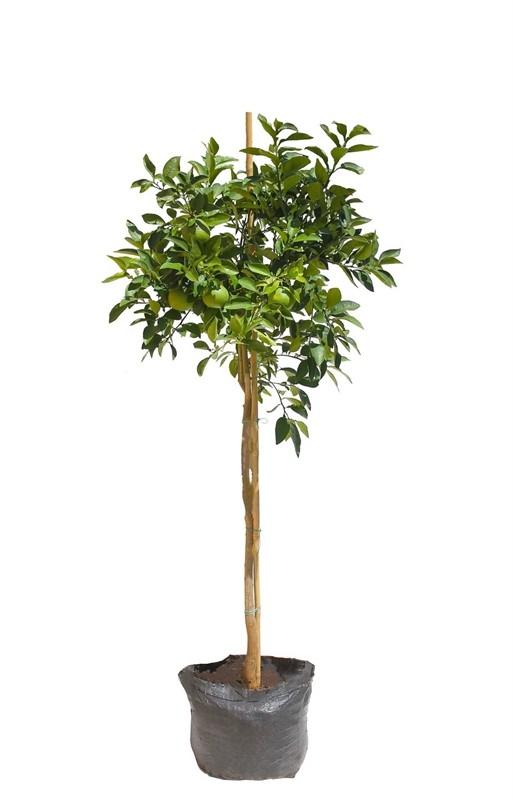 עץ פומלו לבן 50 ל' (Pomelo white)