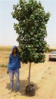 עץ סתריה 50 ליטר