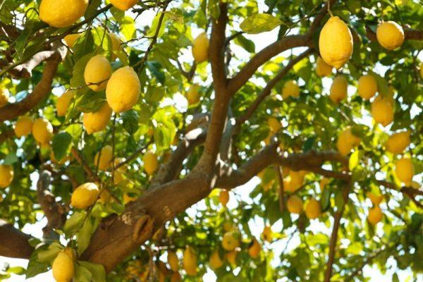 לימון 10 ל' (Lemon)