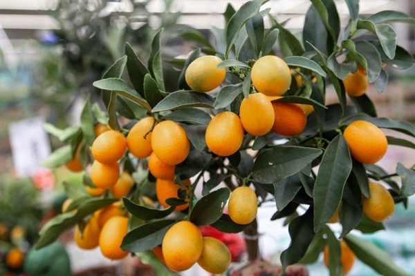 עץ תפוז סיני (קומקווט) 25 ל' (komqwatt)