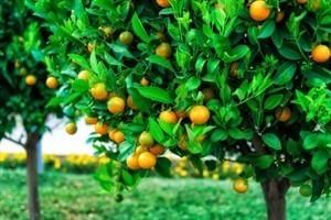 עץ תפוז ולנסיה 10 ל'