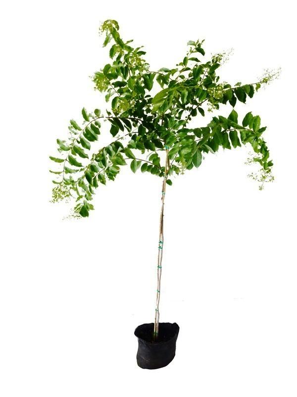 עץ לגרסטרמיה הודית 25 ל' פריחה לבנה