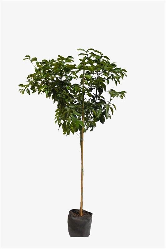 עץ פומלו אדום 50 ל' (Pomelo red)