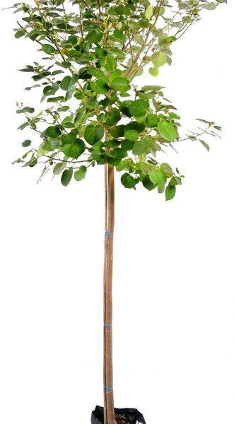 עץ 'סתריה' 25 ל'