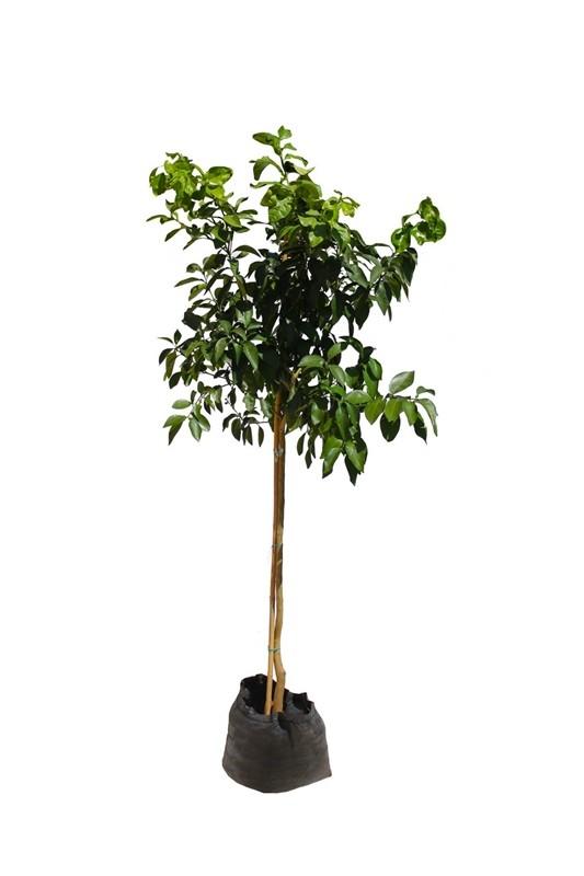 עץ פומלית 50 ל' (pomelit)