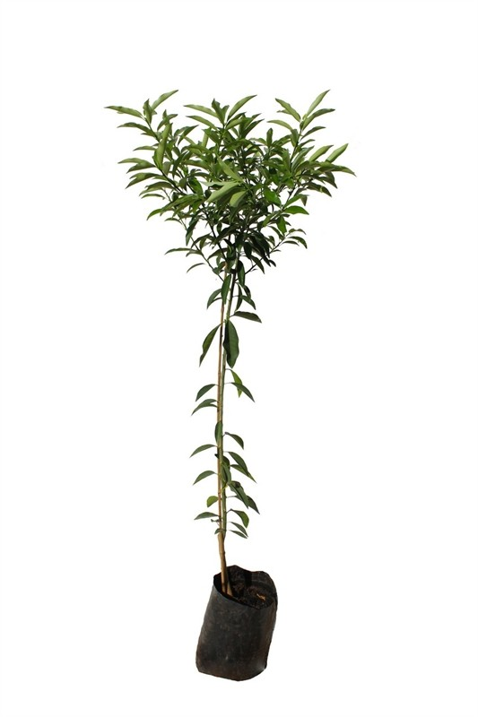 עץ תפוז סיני (קומקווט) 10 ל'