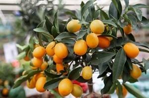 עץ תפוז סיני (קומקווט) 50 ל'