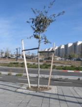 סנדות תומכות בעץ נוי